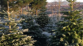 Over 600,000 Irish Christmas trees to be harvested this year