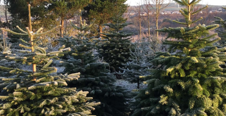 Christmas tree sales expected to reach 650,000