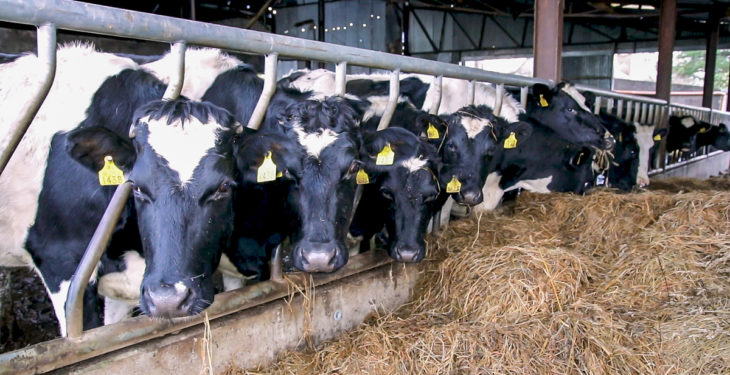 'Fat dairy cows will be the most problematic at calving'