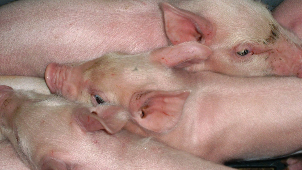 'Bounce back' ability of Northern Ireland pig farmers ensuring industry's survival