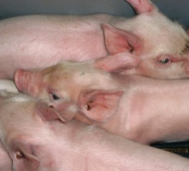 IFA 'condemns' price cut by pig factories