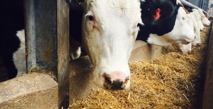 Cattle found with bluetongue in Belgium for first time in 10 years