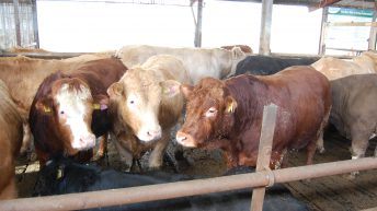 Ration selection: Are your finishing cattle on the correct diet?