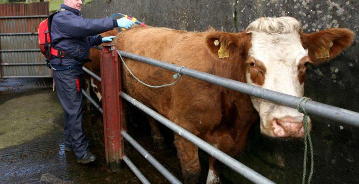 Staying on top of fluke on a Sligo suckler farm