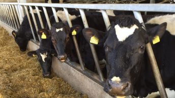 Why protecting your cows prior to calving starts now