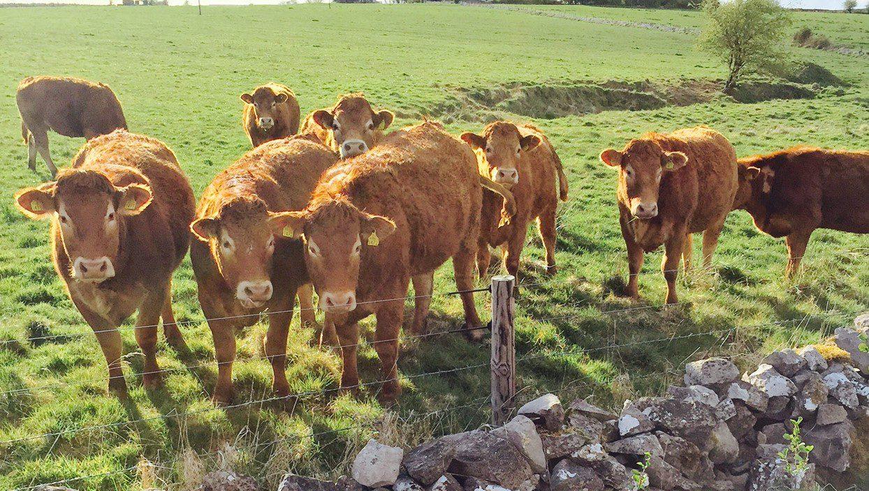 Ensuring suckler heifers calve down at 24 months starts now