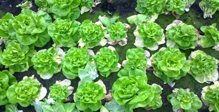 Aggressive lettuce disease Fusarium wilt spotted in UK for the first time