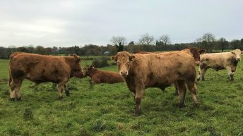 Beef focus: Bringing all calves to slaughter on midlands suckler farm