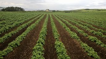 Potato stock levels and 'drawdown' at record rates in the UK