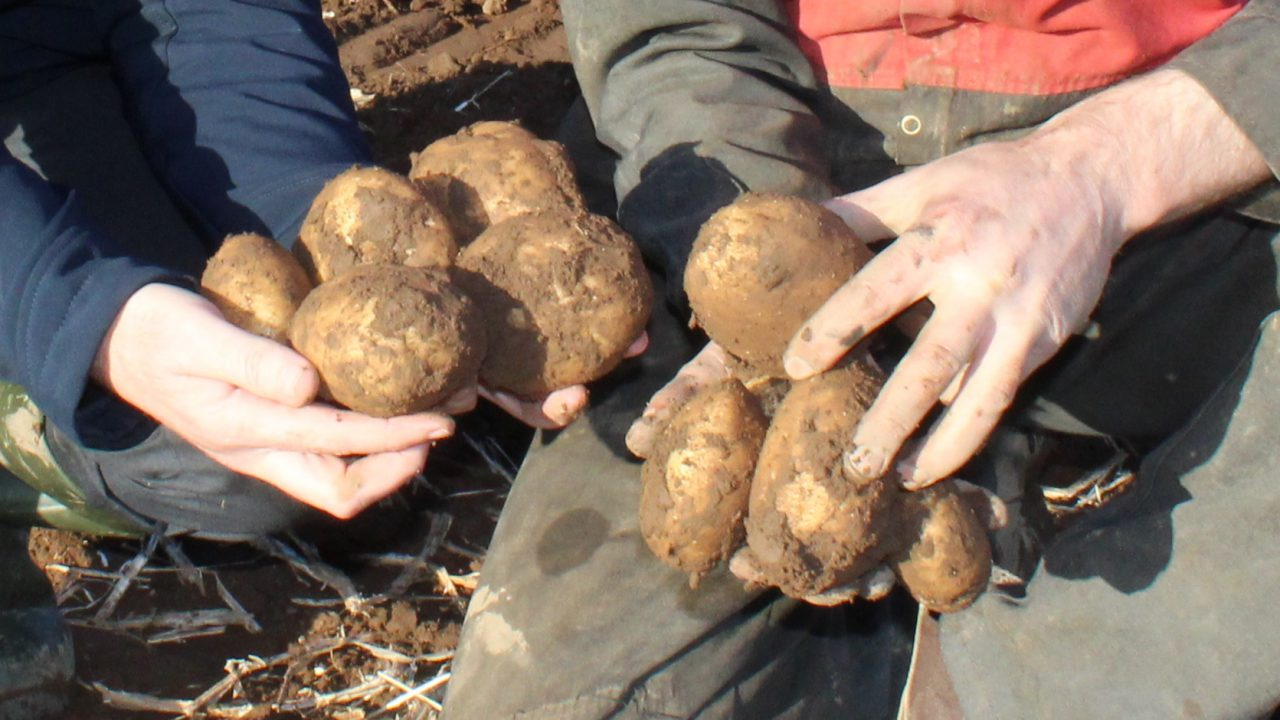 Potato prices: EU potato area higher in 2020