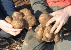 Majority of potatoes still to be lifted