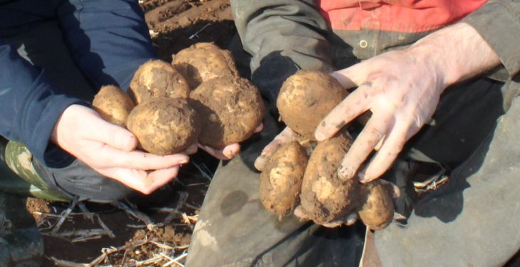 'There is a really big risk if nation shuns away from potatoes'