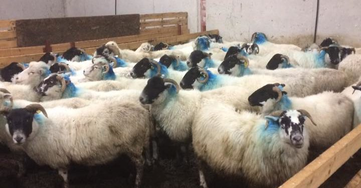 Reward offered for info leading to the recovery of 74 stolen sheep