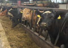 Fresh feed is essential for cattle to hit growth targets