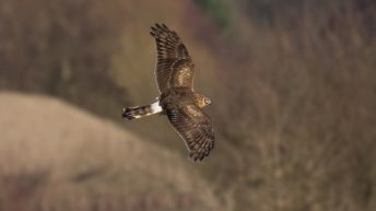 Hen Harrier population in jeopardy due to wildfires