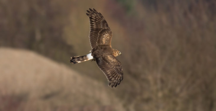 Investigations underway following poisoning of hen harrier
