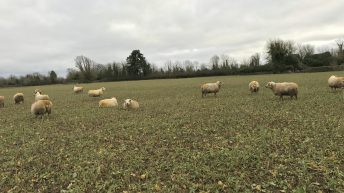 Forage focus: Getting a head start with 'Redstart'