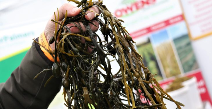 Is seaweed the secret to success in antibiotic-free farming?