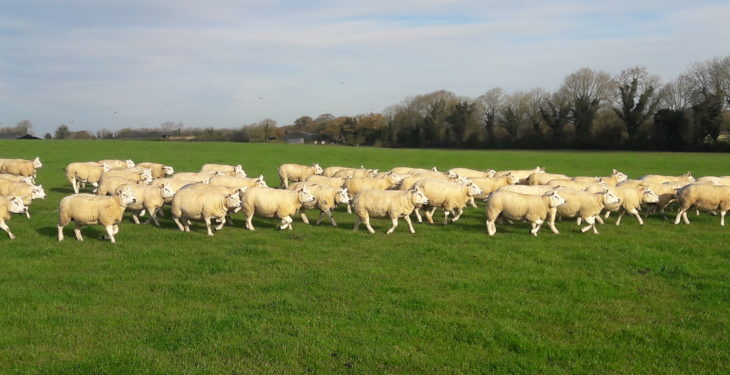 Sheep focus: Breeding pedigree Texels in the 'commercial way' in Co. Meath