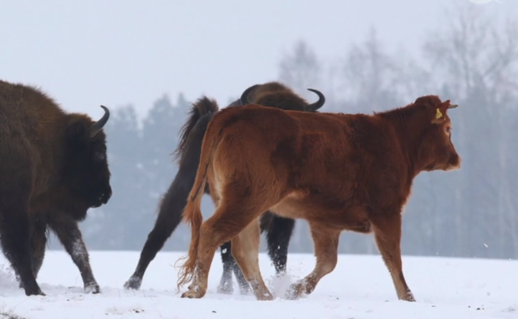 Limousin heifer roams wintry wilderness with bison herd