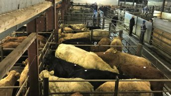 Cattle marts: Prices improve on the pre-Christmas period