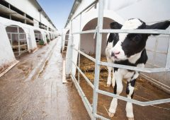 Controlling coccidiosis and cryptosporidiosis during the calving period