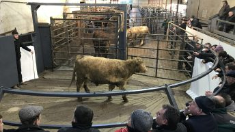 Cattle marts: Pics and prices from the first sale of 2018 at Carnaross Mart
