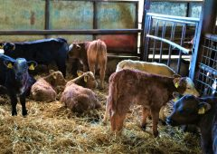 Increase in beef bulls on dairy cows drives NI's rise in beef-sired calves