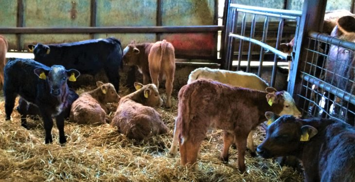 Calf disease: Be on the watch out for coccidiosis