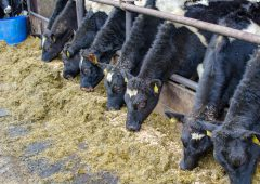 Managing dairy-beef weanlings nutritional requirements this winter