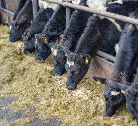 Management of dairy heifers at housing