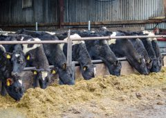 Feeding weanling dairy heifers during the winter months