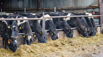 Preparing for winter finishing on calf-to-beef farm