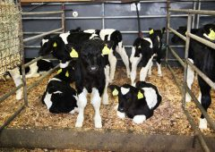 First dairy calving statistics of 2019