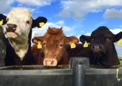 Five cattle die after freak poisoning