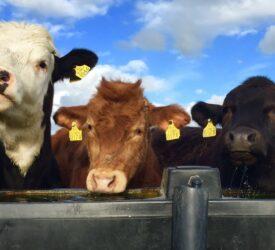 Five cattle die after freak poisoning