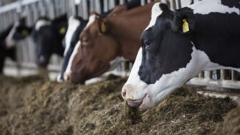 Is good-quality silage on the menu for your dairy cows?