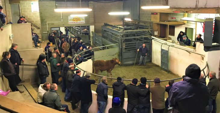 Granard Mart: Pics and prices from weanling heifer and bull sale