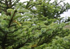 'Leitrim a national sacrifice zone for Sitka Spruce' – Harkin