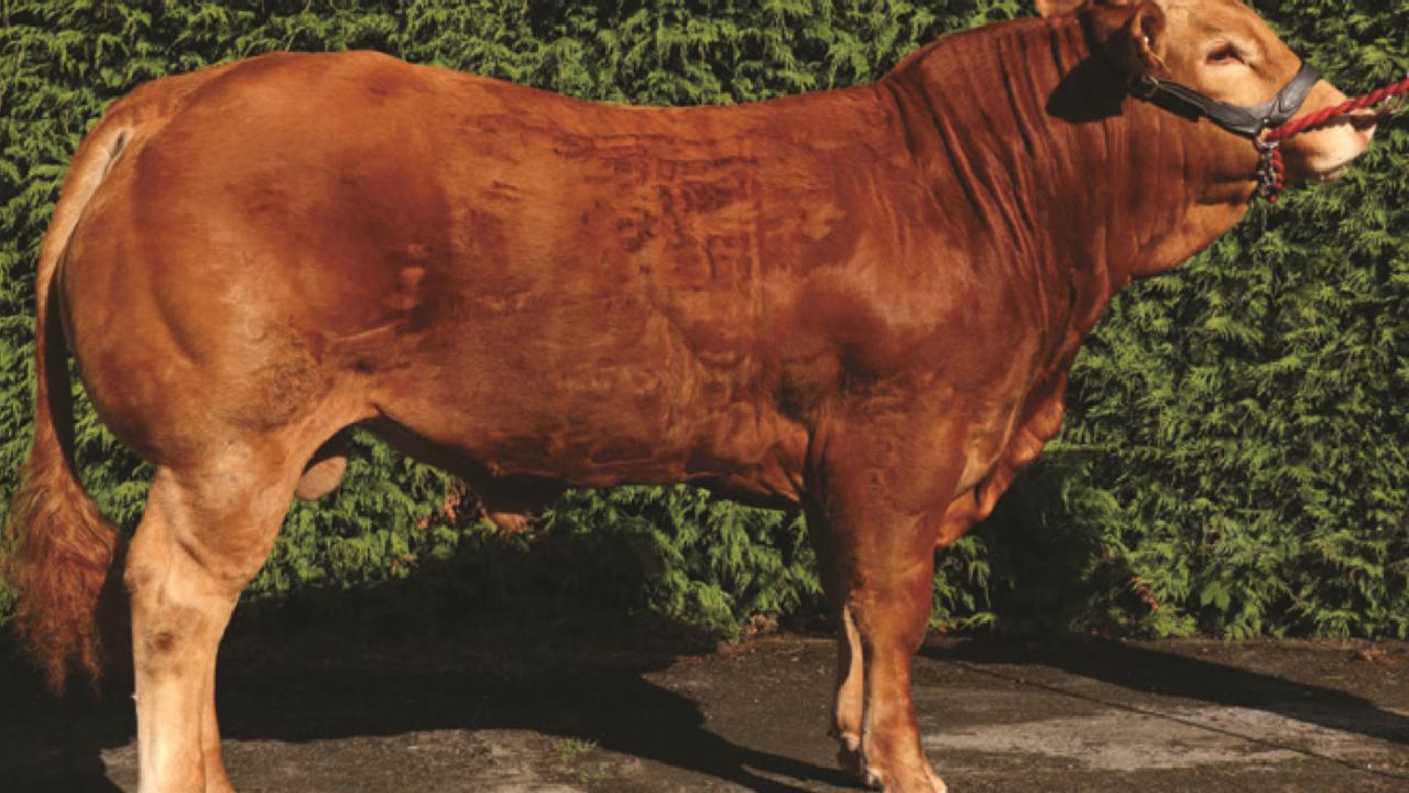 16 Gene Ireland beef bulls announced for 2018