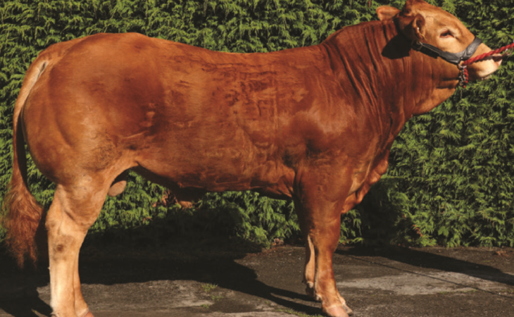 16 Gene Ireland beef bulls announced for 2018