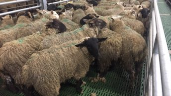 '93% of sheep presented for slaughter compliant with clean livestock policy'