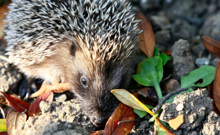 Report shows hedgehog numbers plummet by 50% in British countryside
