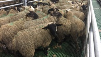 Pics: Putting the Clean Livestock Policy for sheep under the spotlight