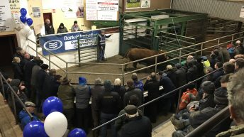 Cattle marts: Continental calves trade for €250-435/head at Tullow Mart