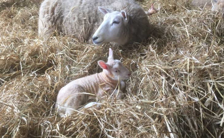 Optimise your lambing routine to reduce mortality