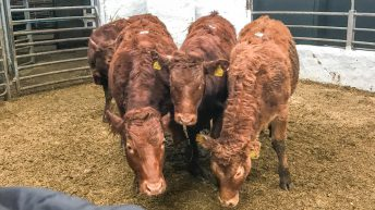 Pics and prices: Store heifers and bullocks in demand at Tullow Mart
