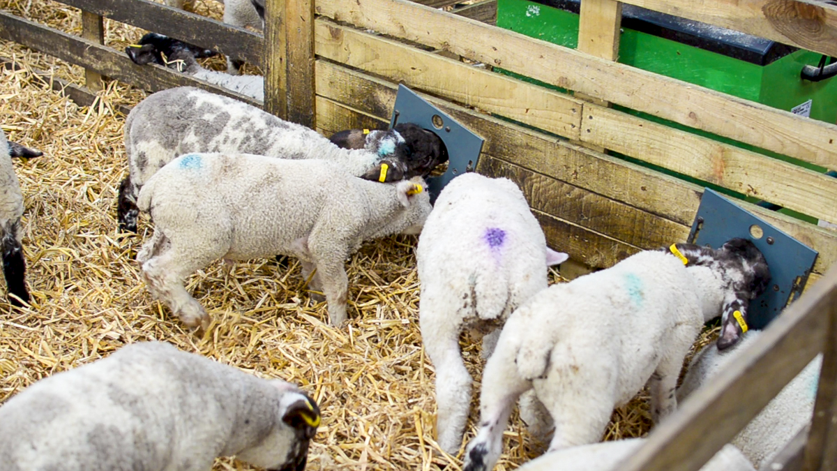 Are you missing out on a stress-free profit opportunity with triplet lambs?