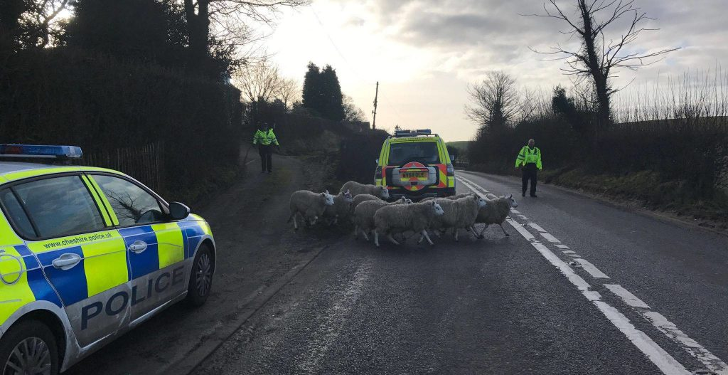 Police, Sheep, Road