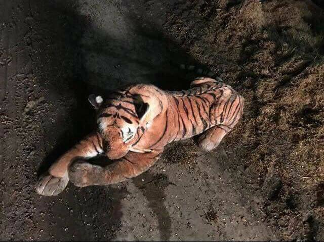 45-minute farm standoff ends when cops realize tiger is stuffed